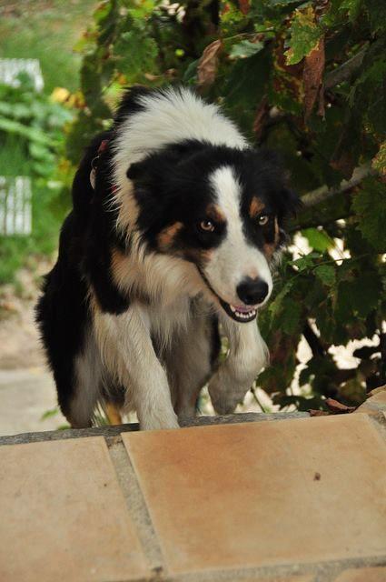 tri-color border collie love   Dogs   Border Collie ...
