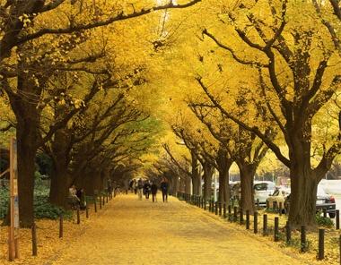 <東京の銀杏並木>海外からのゲストに見せてあげたいのが、満開の桜。それと同じくらい素晴らしいのが、銀杏の紅葉です。会社の近くの青山通りから絵画館前を通り秩父宮ラグビー場まで約300m、146本の銀杏並木は1923年に植栽。黄色い絨毯を敷き詰めたような景色は圧巻です。桜よりも見ごろの時期が長いのも◎。  Photo:AFLO【25ans編集長 十河ひろ美】  http://lexus.jp/cp/10editors/contents/25ans/index.html  ※掲載写真の権利及び管理責任は各編集部にあります。LEXUS pinterestに投稿されたコメントは、LEXUSの基準により取り下げる場合があります。