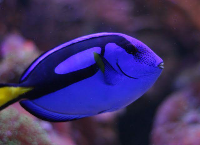 Blue Tang Fish Facts Dory Fish Blue Tang Fish Dory Fish Blue Tang