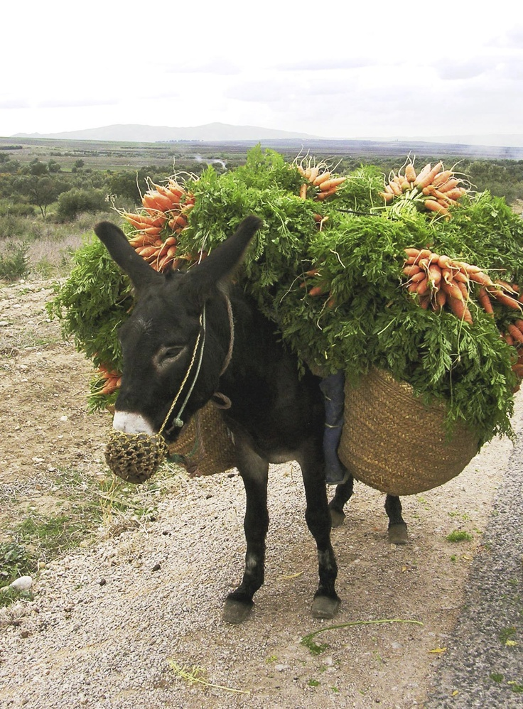 Donkey wants you to eat your vegetables ©WSPA: Donkeys Mule, Ass