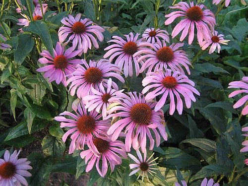Immunrendszer erősítő csodanövény a kasvirág - Egészségtér - Természetes egészség