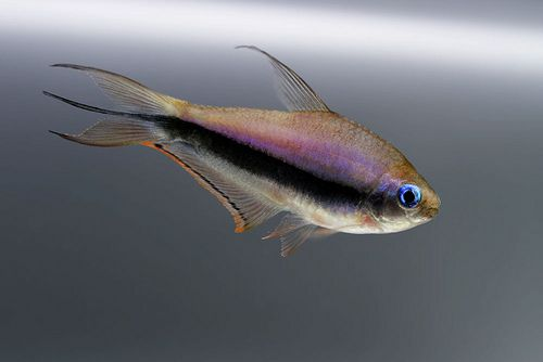 1709 best images on pinterest for Pretty freshwater fish