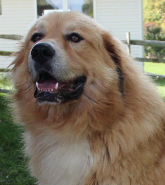 Brinkley Is A Golden Retriever Available For Adoption From Golden