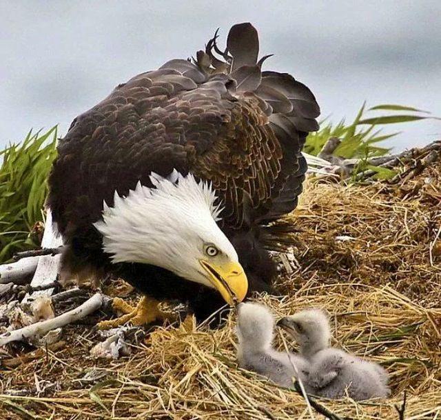 Bald eagle feeding chicks                                                                                                                                                     More