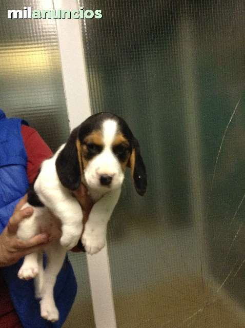MIL ANUNCIOS.COM - Frances. Compra-venta de beagles frances. Anuncios con fotos de beagles frances. Perros beagle frances
