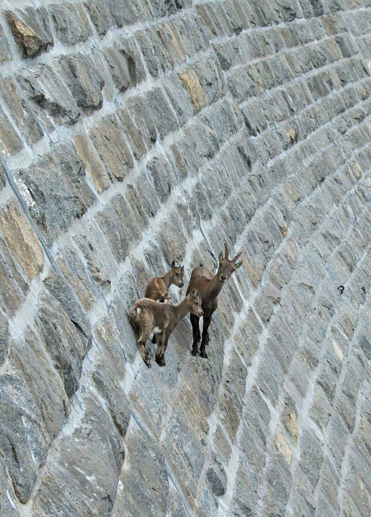 "Goats on a MANMADE ""cliff""! From a collection titled ""These 36 Goats On Cliffs Don't Know What Fear Is 