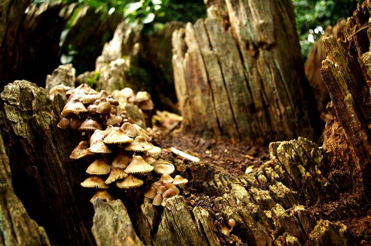 A clump of mushrooms in a hollow rotting tree