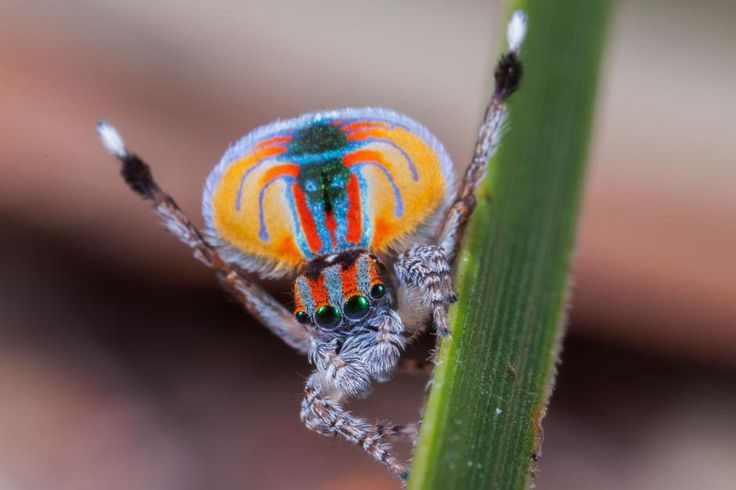 Picture of a peacock spider