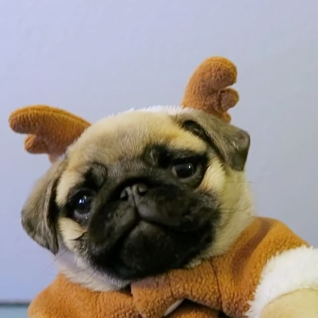 All I want for Christmas is a ton of pugs