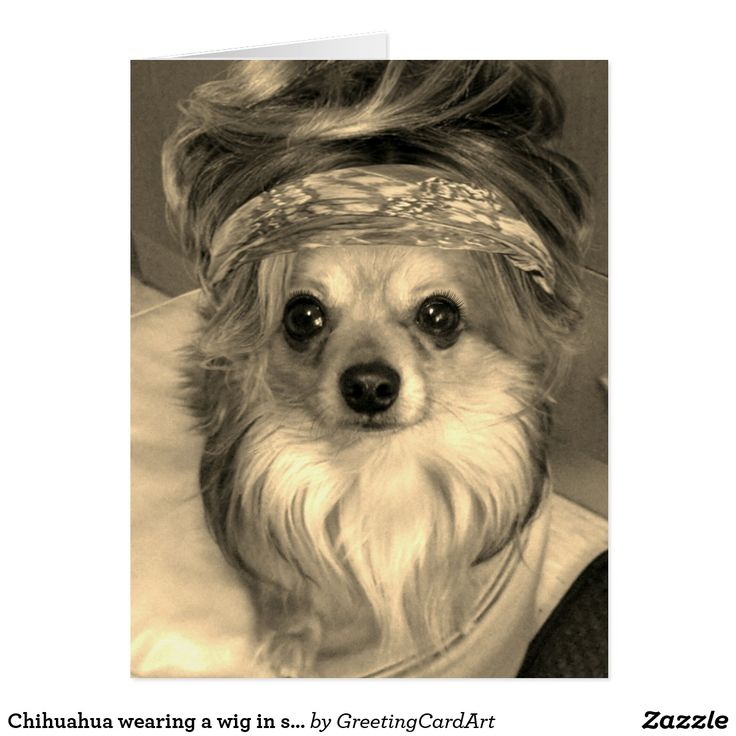 Chihuahua wearing a wig in sepia Big Birthday Card