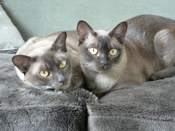 Burmese cat forum uk