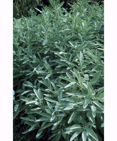 Common Sage: good for cooking, repelling mosquitoes, potted (approx. H60-90cm x W60cm)