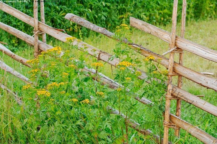 Kukkia aidalla - pietaryrtti nappikukka Tanacetum vulgare keltainen kukka kukat…