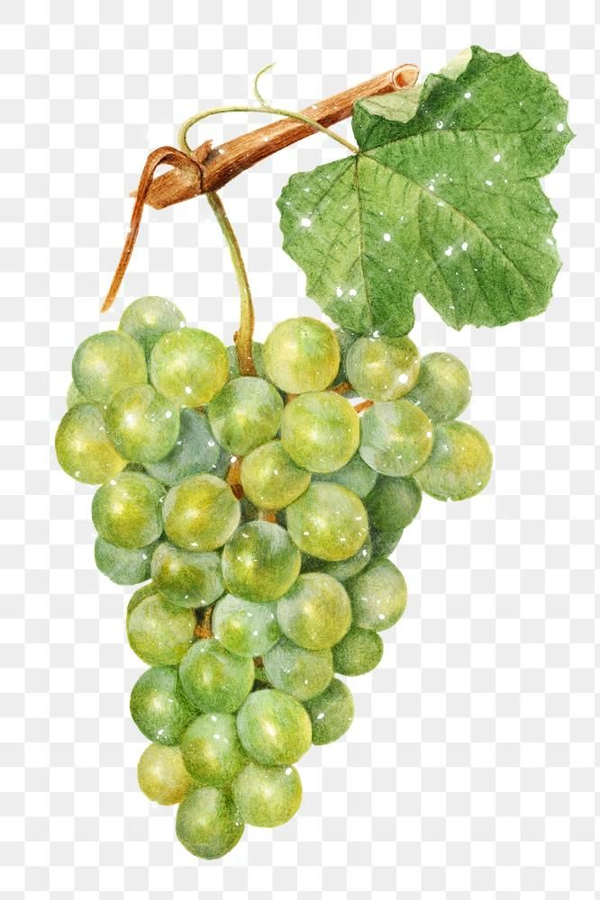 Hand Drawn Sparkling Green Grapes Design Element Free Image By Rawpixel Com Manotang In 2020 Green Grapes How To Draw Hands Design Element