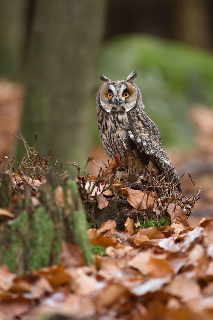 Long-eared Owl ...... Stunning