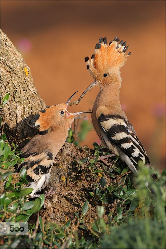 Hoopoe (feeding) by Patrick Donini on 500px