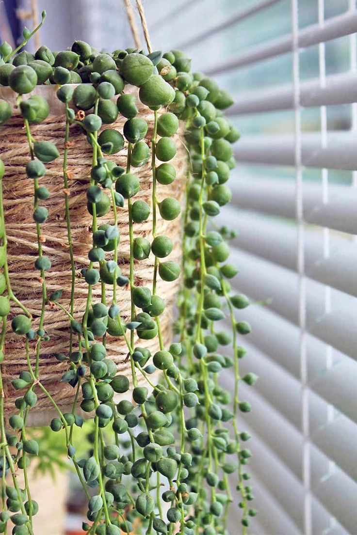Green string of pearls plant trailing down the side of a