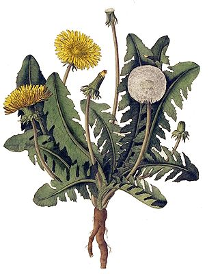 Armchair Forager: Flora Americana  A new poem from our Armchair Forager, Debora Greger, inspired by Eat the Invaders. Greger's latest book, By Herself, will be published this fall. Flora Americana I. Natives They rolled up his lawn, ...