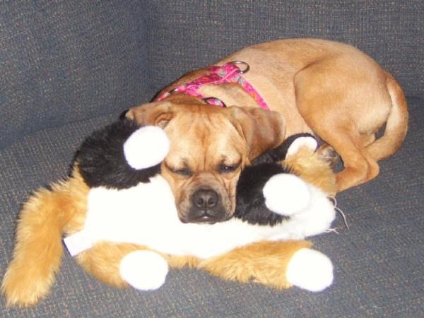 Cutest dog!! Puggles!