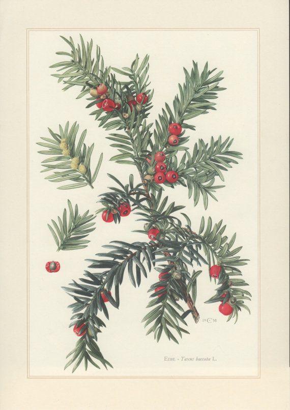 1960 Vintage Botanical Print Taxus baccata English by Craftissimo