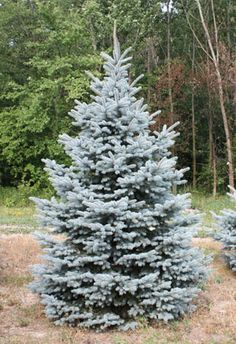 Baby Blue Spruce - a seeded selection of blue spruce. Different than Baby Blue Eyes Spruce which is grafted.