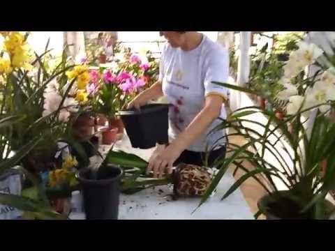 Técnica de replante de Cymbidium por Teresinha Kunz - YouTube