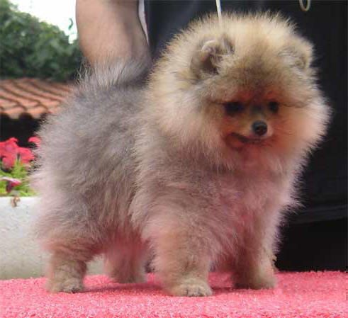 O M G this is the exact Pomeranian that I want
