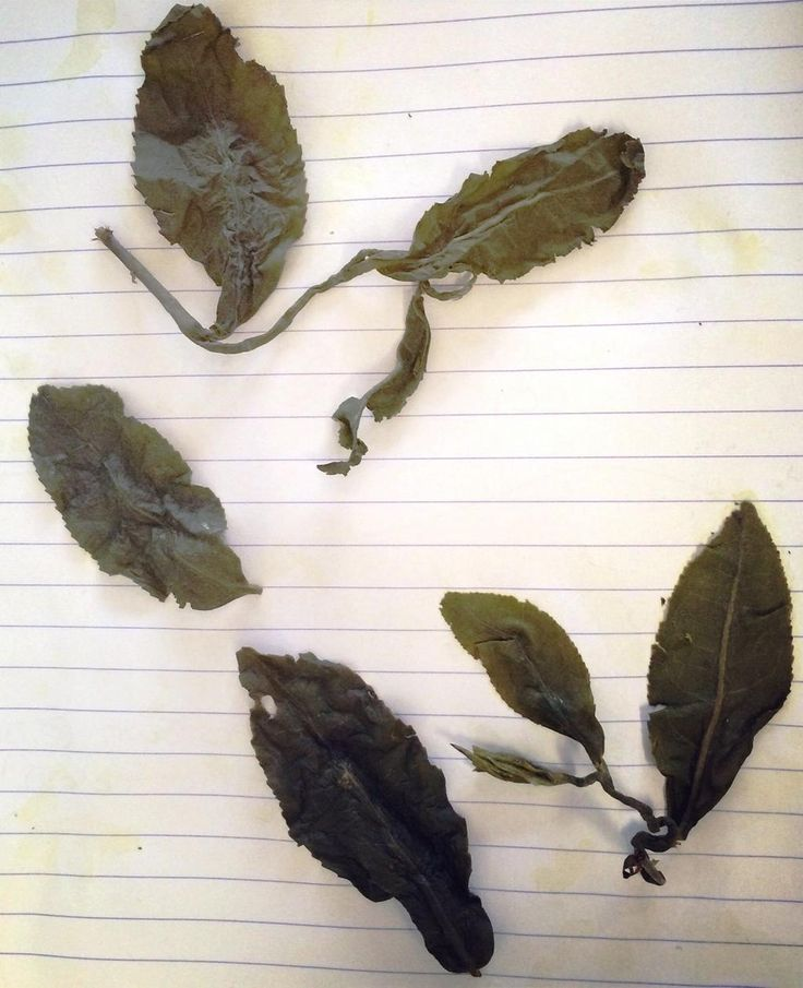 teapigs Rosie and Rachel cant quite believe the size of these whole leaves they've found in Rachel's oolong tea bag! When we say whole leaf - we mean it.