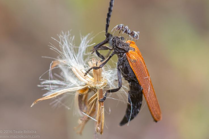 https://flic.kr/p/MBwH1b | Long-nosed Lycid Beetle vertical_Calliope_26102016 | This Long-nosed Lycid Beetle (Porrostoma rhipidium) has had its search for breakfast interrupted by ants in Calliope, Central Queensland, Australia.