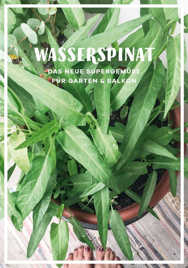 Wasserspinat, das neue Superfood für Garten und Balkon. Er ist ein super Tipp für Anfänger, wenn Du einen Garten neu anlegen möchtest oder als Basis für vegane Rezepte.