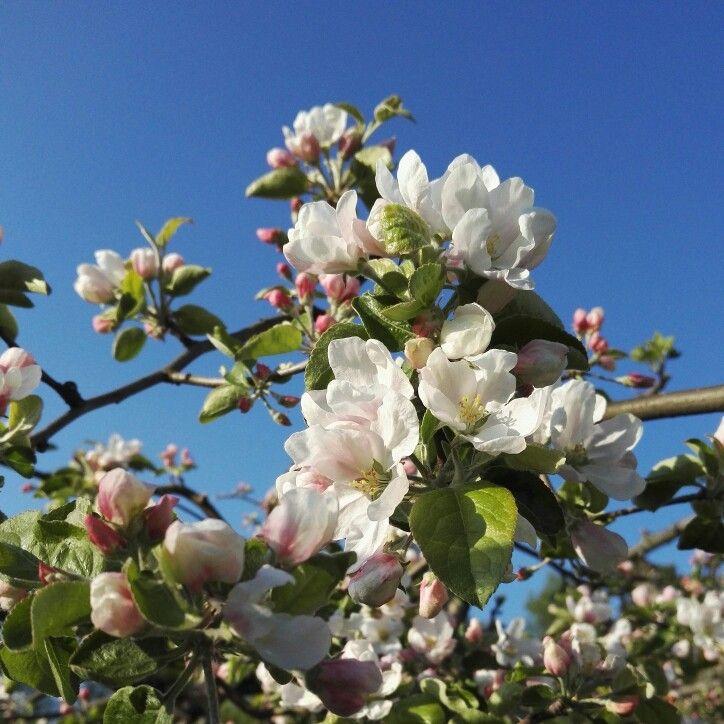 A promise. #apple #appletree #mygarden #cloudberryroad