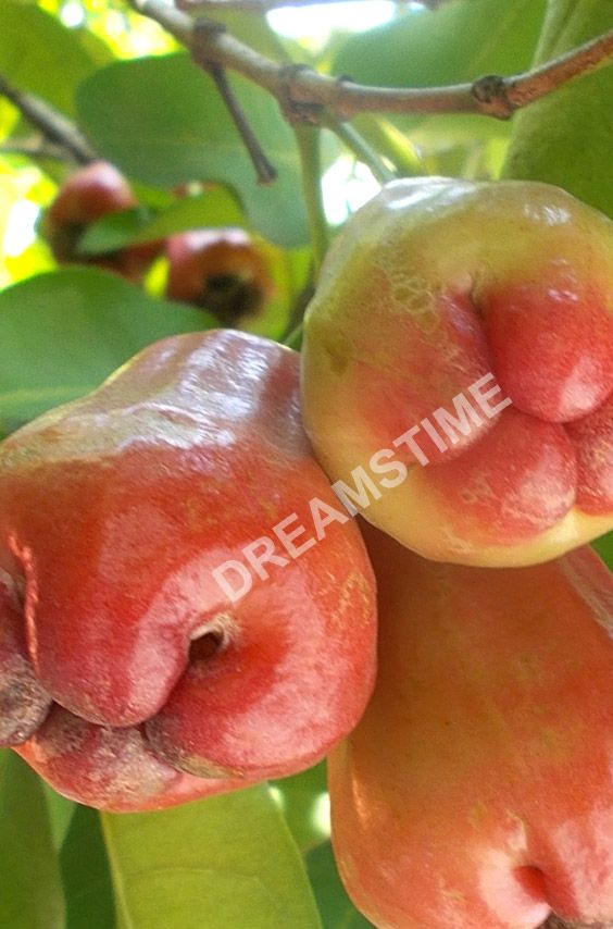 Red Java apples or rose apples fruits