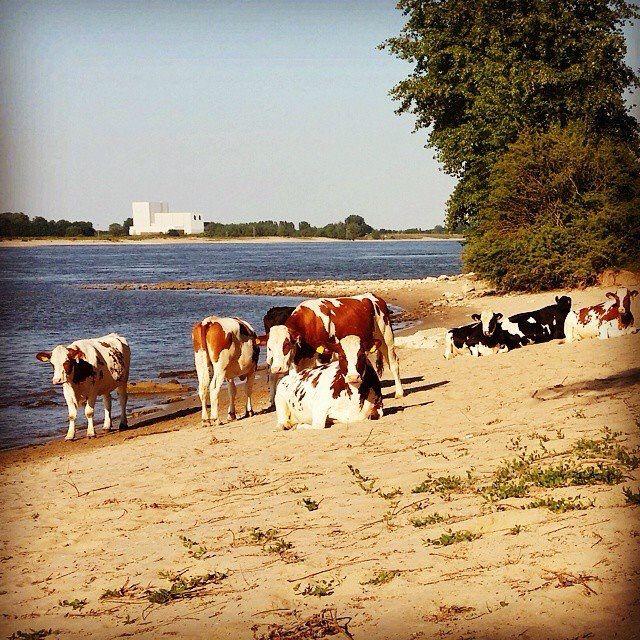 Koeien aan de Waal Nijmegen