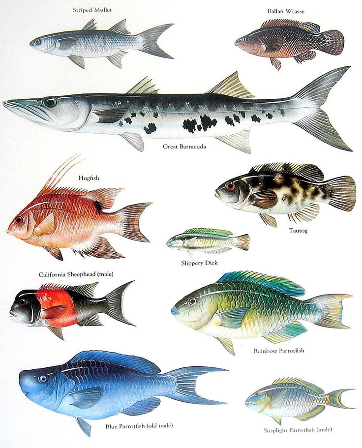 Fish Print - Striped Mullet, Great Barracuda, Hogfish -  Vintage 1984 Fish Book Plate.