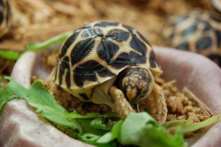 baby Indian Star Tortoise <3