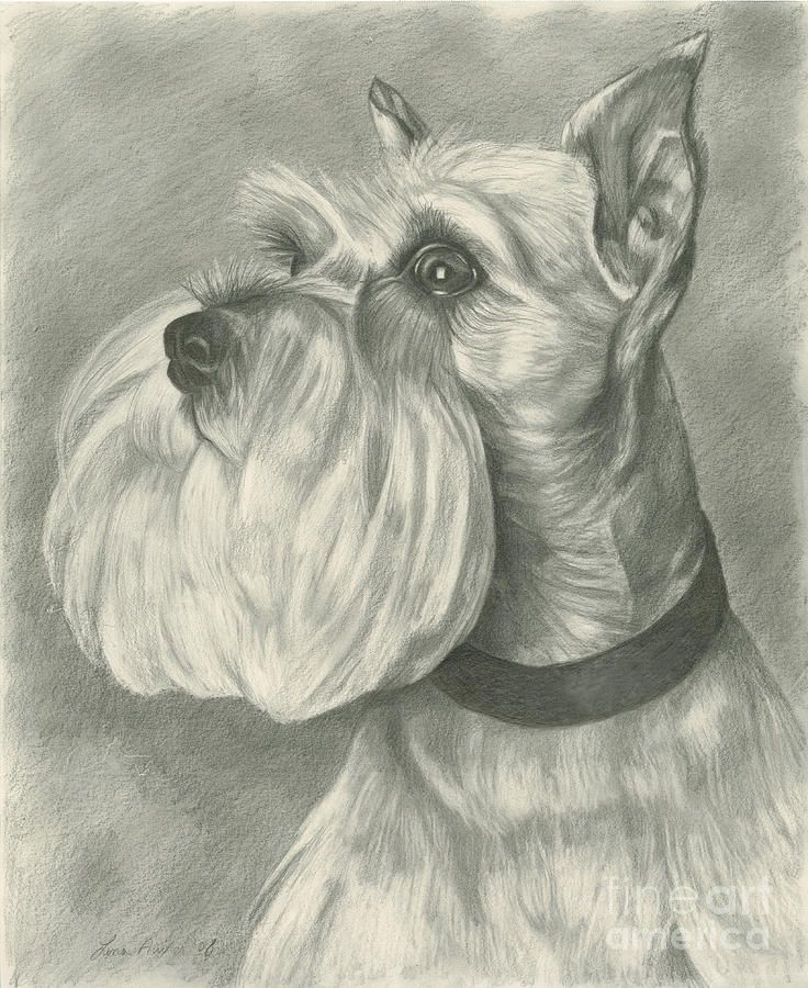 Miniature Schnauzer Drawing by Lena Auxier - Miniature Schnauzer Fine Art Prints and Posters for Sale
