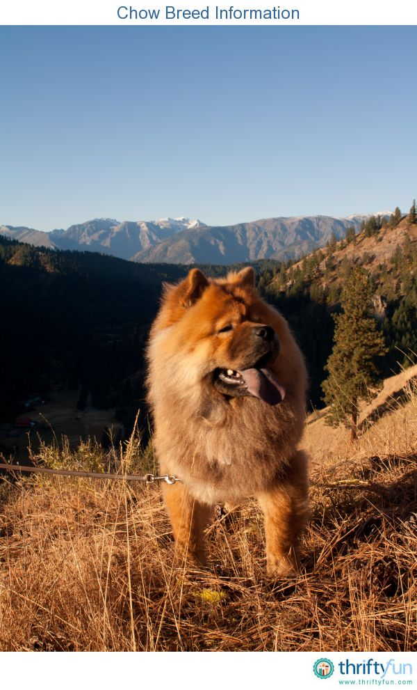 19 Best Images About Chow Chows On The Loose On Pinterest