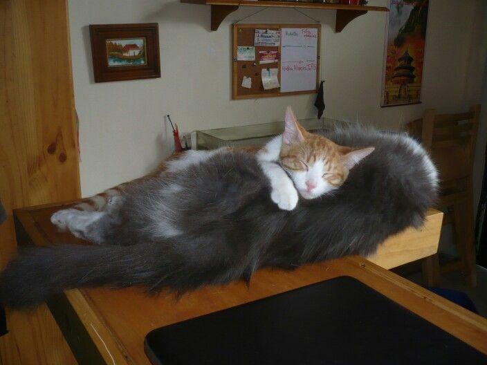 Ichi durmiendo sobre James #kittie #cat #gato #kitten #sleepy #sleeping #gatito