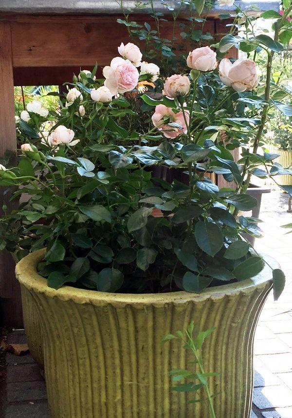 Rosen Im Pflanzkubel Wachsende Rosen Rosen Pflanzen Und Pflanzen