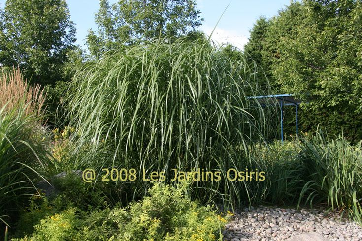 Miscanthus sinensis goliath 7 9 39 green stalks plume for Tall grass with purple plumes
