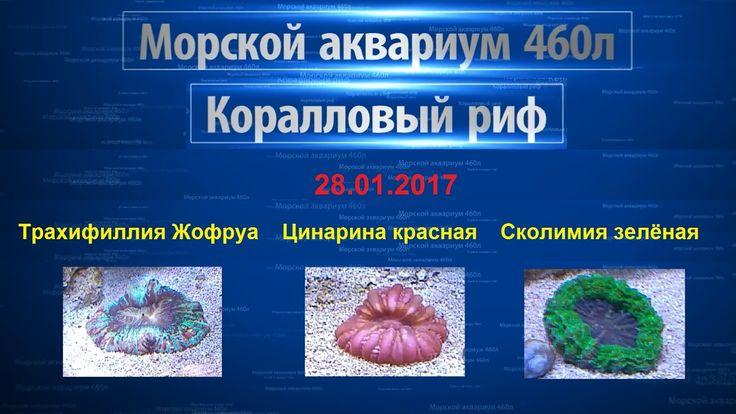 Морской аквариум - Коралловый риф - Трахифиллия - Цинарина - Сколимия