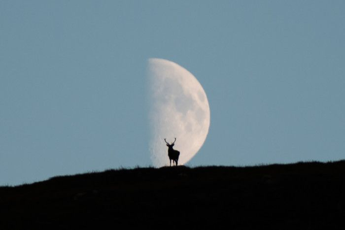 A stag in front of the moon on the hills near Loch Muick in the Cairngorms National Park. Picture: Andy Leonard/SWNS