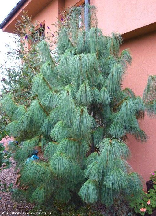 Pinus wallichiana (Pinus griffithii) - Havlis.cz