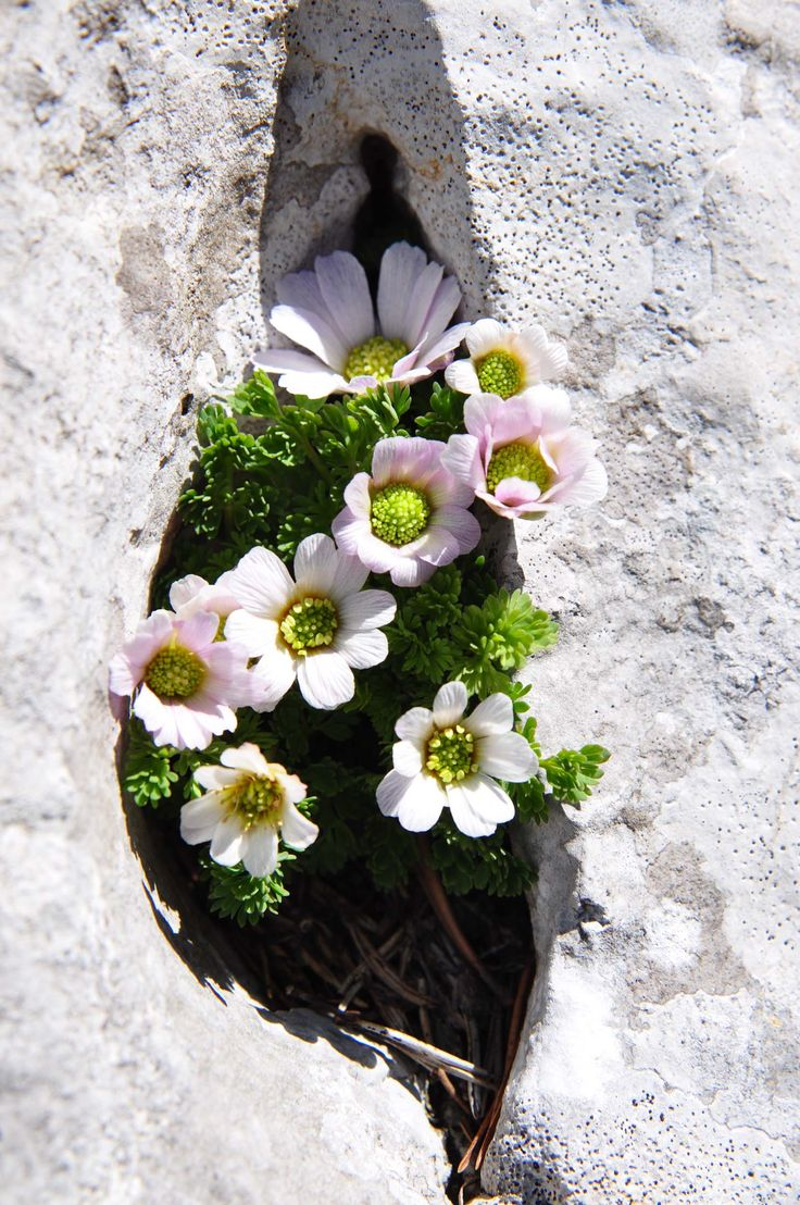 237 best wild flowers amidst the rocks images on pinterest flowers growing out of a crack dhlflorist Images
