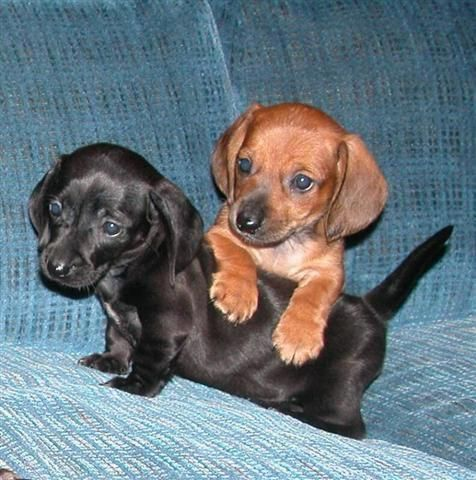 """See our website for additional information on """"dachschunds"""". It is actually a su…   – Dachshund"""