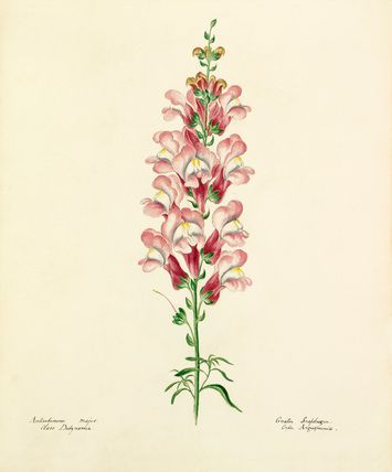 Lydia Penrose -- Antirrhinum majus -- Lydia Penrose -- Artists -- RHS Prints