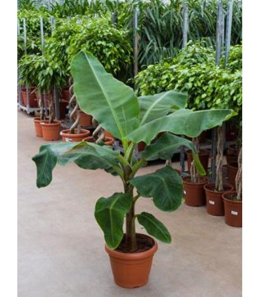 Musa | Musa Cavendish | Bananenplanten | Chicplants