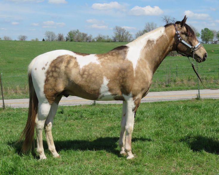 buckskin paint horse - Google Search
