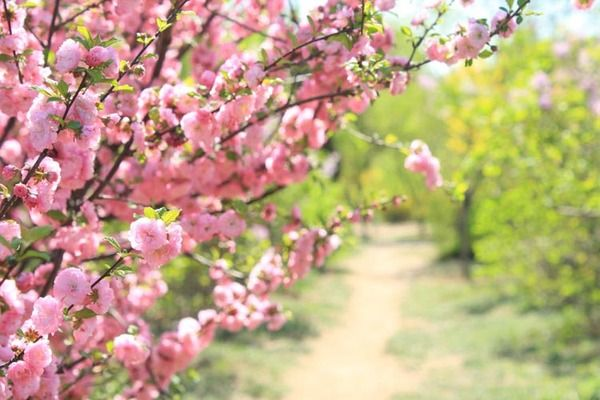 According To The Flower Association Of Japan There Are Over Three Hundred Species Varieties And Flowering Cherry Tree Yoshino Cherry Tree Weeping Cherry Tree