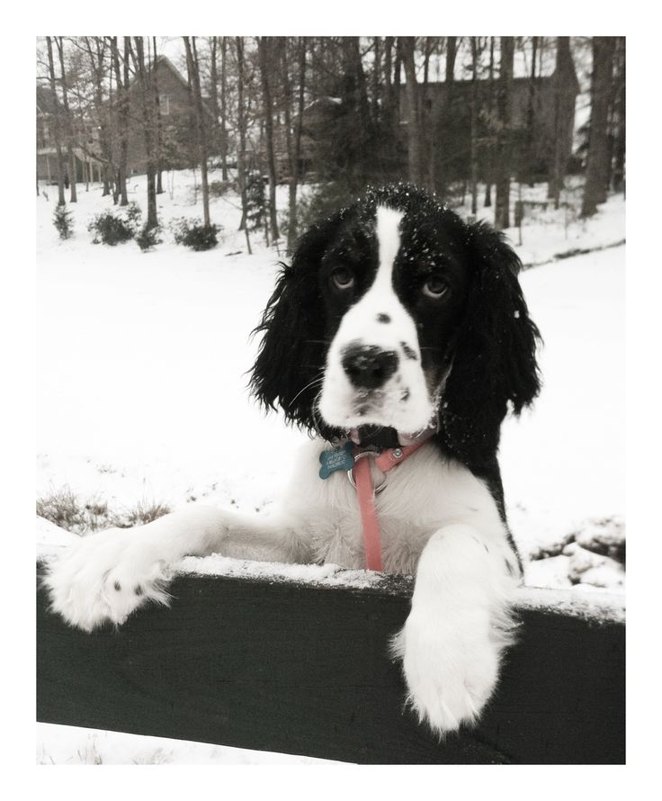 "English Springer Spaniel ""Jax"""